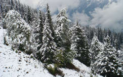örökzöld ausztria fenyő alpok tél erdő