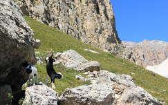 Jatszo kecskegidak az Olasz Alpokban
