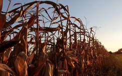 Kukoricás naplementekor