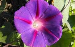 Hajnalka virág