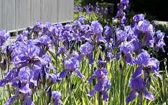 nőszirom vagy írisz (Iris)