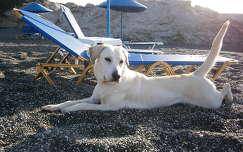 Serdülő labrador, Kréta déli partján.