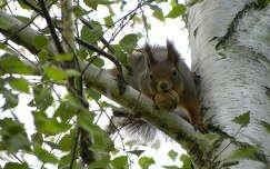 dió gyümölcs mókus