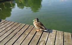 Vadkacsa az Ossiachi-tó partján,  Karintia
