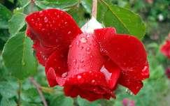 Rózsa esőben
