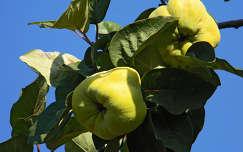 körte gyümölcs