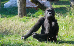 Gorilla kölyök