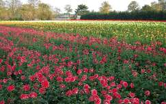 Santpoort-North, Dahlia-field. North-Holland
