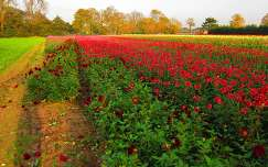 Santpoort-North, Dahlia Field, North-Holland