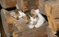 Cica testvérkék