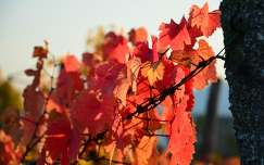 Fut a szőlő