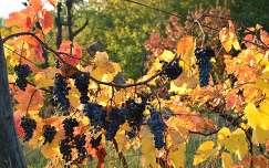 Egri szőlő