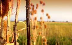mező ősz bogáncs