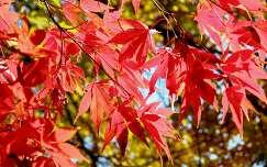 Vörös juhar levele ősszel