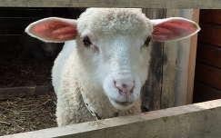 bárány háziállat juh