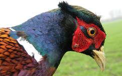 madár fácán