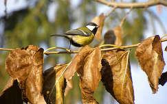 madár ősz cinege levél széncinege