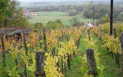 ősz szőlőültetvény