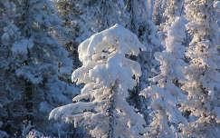 Téli fenyők