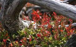 Áfonyák késő ősszel