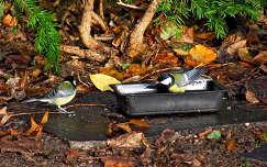 madár ősz széncinege cinege