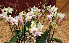 Budapest, Syma csarnok, orchidea kiállítás - 2012