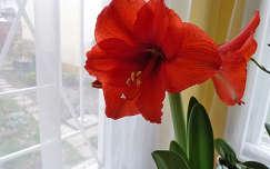 Virágzó amarílis