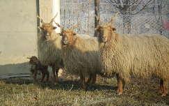 bárány háziállat állatkölyök juh