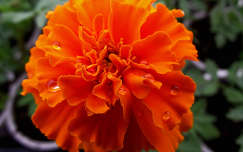 Bársonyvirág. Fotó: Csonki
