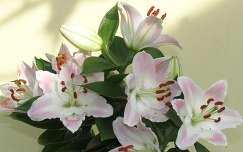 Liliomcsokor