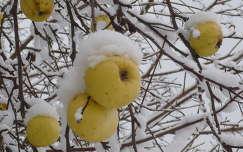 tél gyümölcs alma