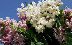 Fehér és rózsaszín akácvirág