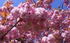 tavaszi virág virágzó fa japán cseresznye