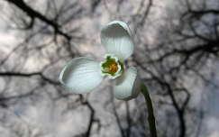 tavasz, hóvirág,