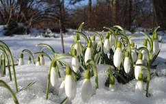 Az első hóvirágok