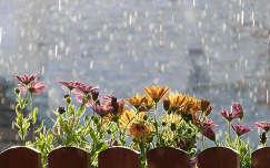 kerítés eső gerbera