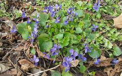 Tavaszi virág az ibolya, de a tavasz még várat magára.