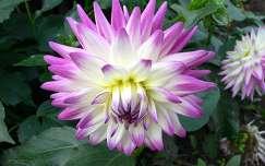 dália nyári virág