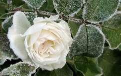 Dérlepte rózsa