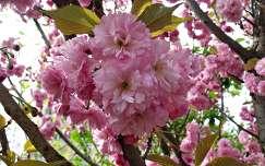 virágzó fa japán cseresznye tavasz
