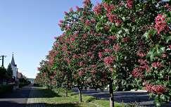 út gesztenyevirág virágzó fa