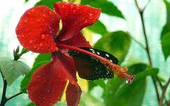 Szomjas pillangó
