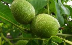 dió gyümölcs