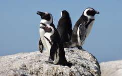 Dél-Afrika, afrikai pingvinek, Boulders Beach