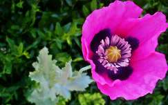 Rózsaszín pipacs