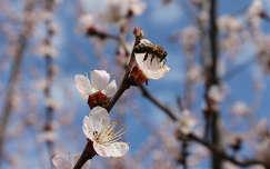 tavasz, méh
