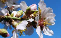 Virágzó mandulafa