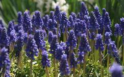 tavaszi virág fürtösgyöngyike