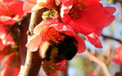 rovar japánbirs dongó