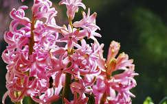 tavaszi virág névnap és születésnap jácint